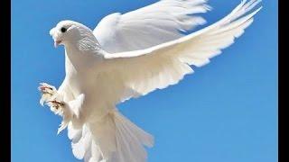 Tarlacı güvercin Bursa 1
