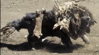 Tibetan Mastiff in the native land by Zhong Chen