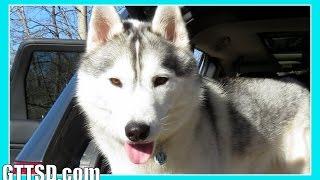 HUSKY vs CAR | Snow Dog Short 41 | Funny Dog Caught on Camera