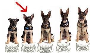 В каком возрасте забирать щенка у заводчика?