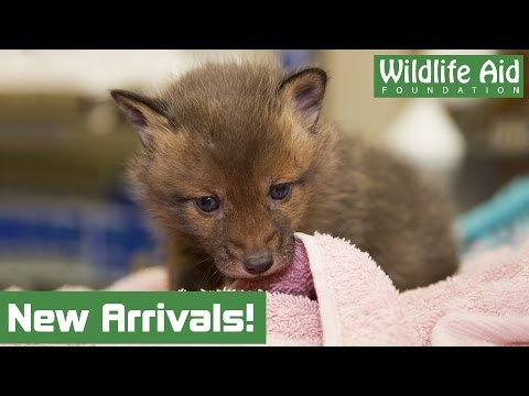 Fox Cubs Saved From Turkey Farm