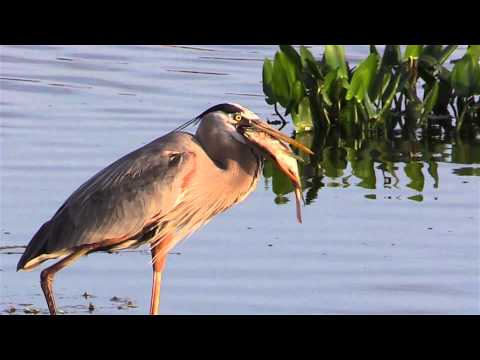 Great Blue Heron Eats A Fish