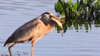 Great Blue Heron Eats A Fish