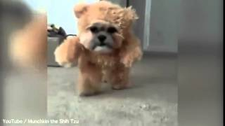 Adorable! Munchkin The Shih Tzu Dressed...