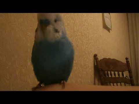 Почему попугай открывает клюв?