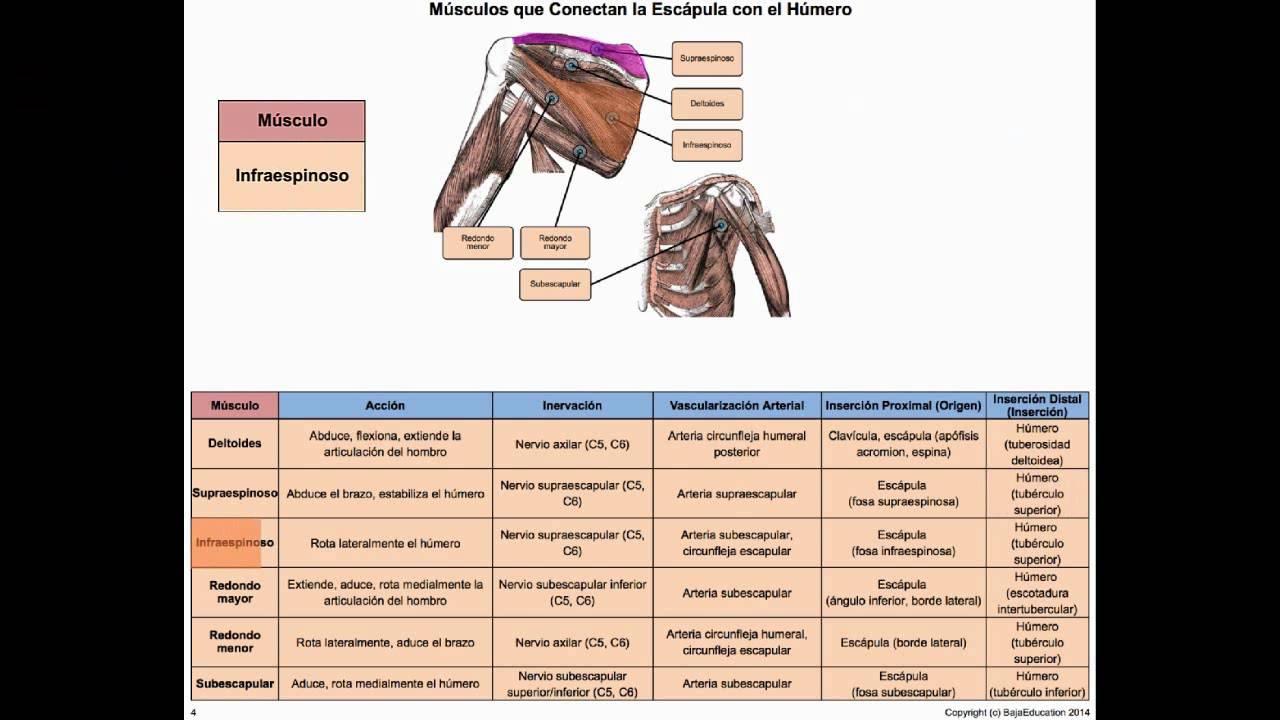 Musculos Que Conectan la Escapula con el Humero - YouTube