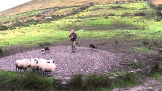 Sheep Dog Demonstration - Ireland