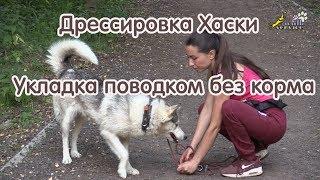 Дрессировка Хаски , Укладка поводком без корма, ездовые собаки