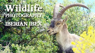 IBERIAN IBEX photography - Behind the Scenes