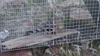 Gambar cover Ringtail Cat in Southern Idaho