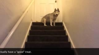 Siberian Husky Obedience 101