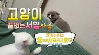 [까까캔디]  오징어사와 고양이 -그후편 패러디 해보기- 고양이 서열전쟁, 고양이들의 심리상태, 고양이가 하는 행동, 고양이의 질투심, 귀여운 고양이 까까캔디 싸움 말려야되나?