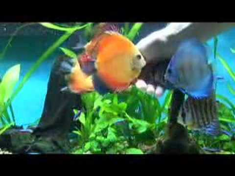 Discus fish eating from my hand.   YouTube