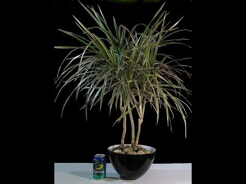 Dracaena Marginata Tropical Bonsai The Dragon Plant