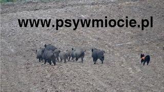 Polowanie zbiorowe na dziki z psami - Psy w miocie - Wild boar hunting with dogs