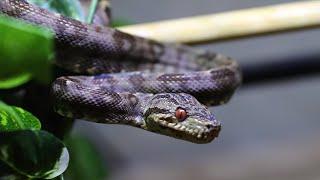 いかにも悪そうな顔をしたヘビ、アマゾンツリーボアがカッコ良すぎる・・・