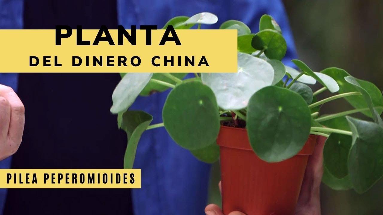 cual es la planta china del dinero