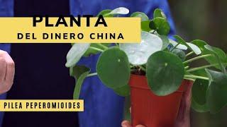 Pilea peperomioides o planta del dinero china - Bricomanía