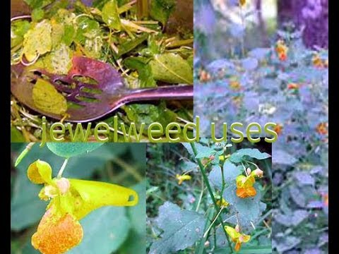 Jewel weed uses