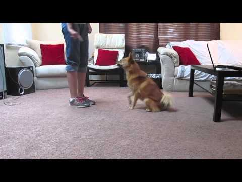 Finnish Spitz Kimma - Some Indoor Tricks