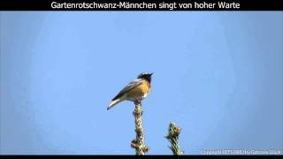 Gartenrotschwanz mit Gesang - Common redstart singing (1080p HD)