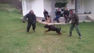 Rottweiler Defence Training With Police