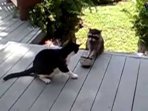 Енот полоскун с котом