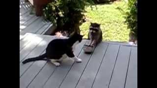 енот ворует еду у кота)