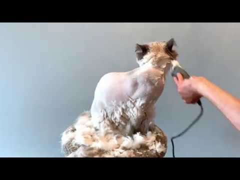 Best Way To Shave Your Himalayan Cat!!