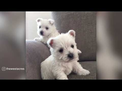 Fluffy Westie Puppies,Too cute !