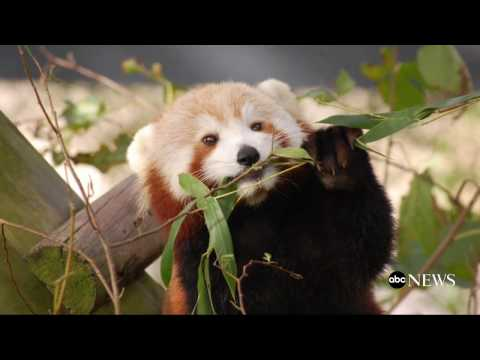 Red Panda Missing From Virginia Zoo