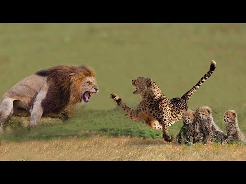 Cheetah Mom Protects Cubs from Male Lion | Animals Save Another Animals