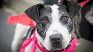 Adopted! Sugar Pie , A Loving 5-year Old Fox Terrier And Staffordshire Bull Terrier Mix Dog