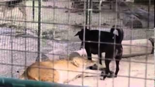собака и львы