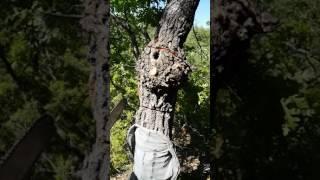ağaçtan arı nasıl alınır