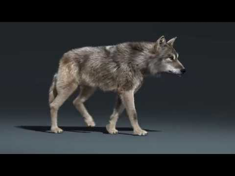 Wolf Walk Cycle Animation