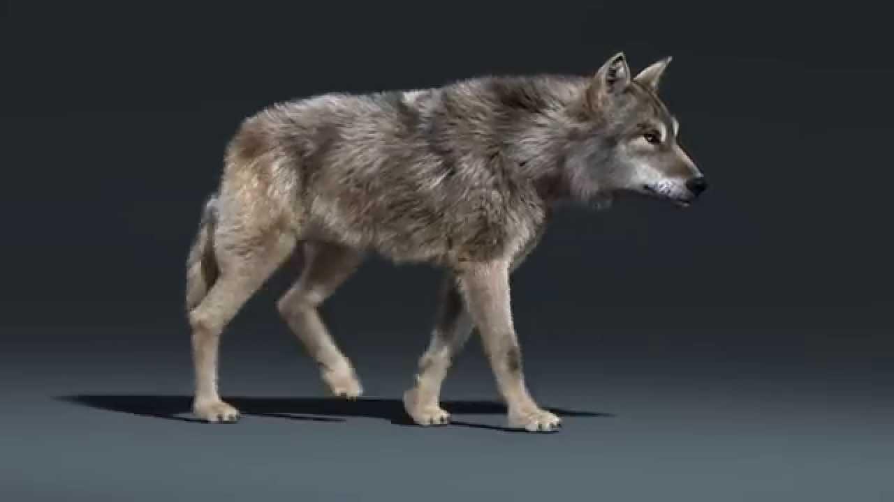 wolf walk cycle animation youtube