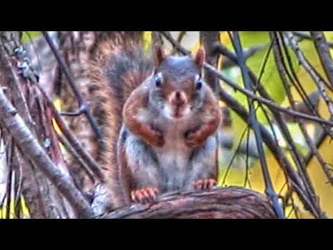 World's Angriest Squirrels Video Compilation