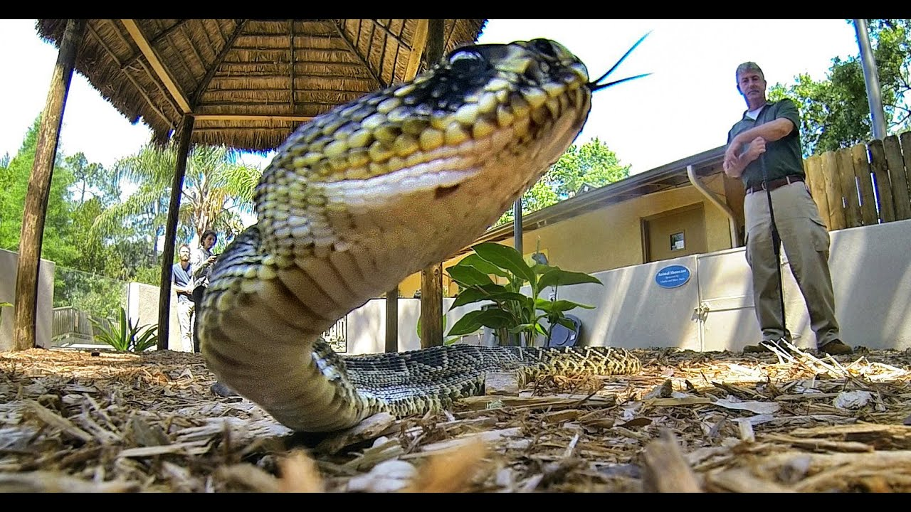 Snakes Of Florida The Good The Bad Amp The Friendly Youtube