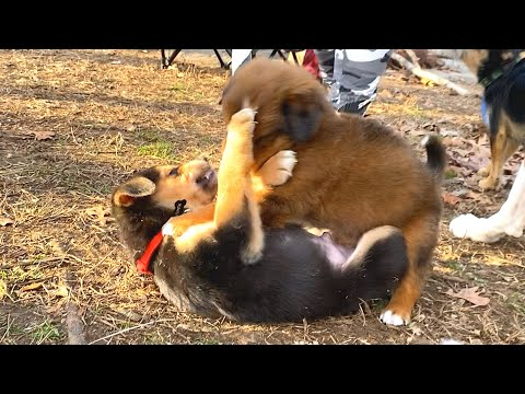 Pakistani Bully Dog Mating For Breeding Purpose | Dog Breeding Explanation from YouTube · Duration:  24 minutes 17 seconds