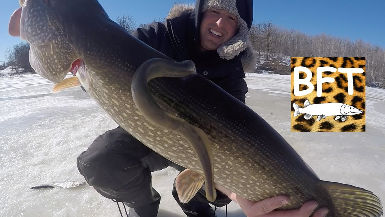 Lamprey on a pike 35 pike on a salamander vlog 6 youtube for Septicemia in fish