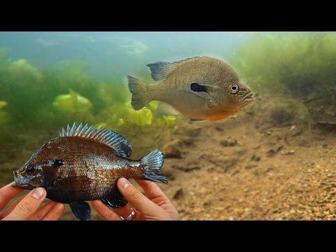 BIG Sunfish Underwater Catch! GoPro Spawning Bluegill Footage