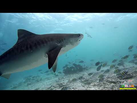 Tiger Shark Maldives Trip 2020