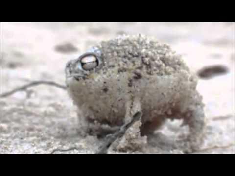 Çöl Yağmuru Kurbağası Dünyanın En Tatlı Kurbağası)