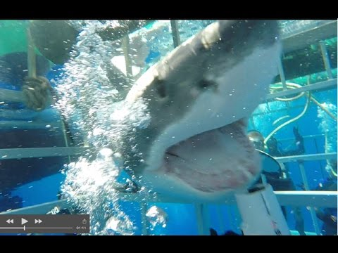Great White Shark Charges Into Cage, Struggles, Escapes!  Vi