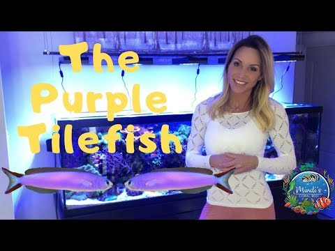 The Purple Tilefish (Hoplolatilus Purpureus) - Mindi's Coral Reef