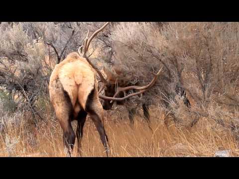 Elk Fighting in Yellowstone