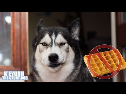 Husky Annoyed The Waffle Maker Broke!