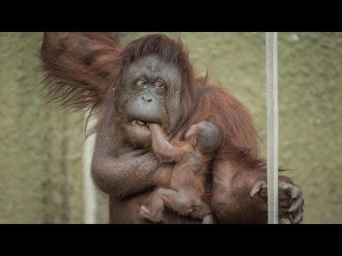 Proud Mum Shows Off Baby Orangutan: ZooBorns
