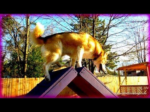 A for AGILITY! Our New A-Frame! Siberian Husky does Agility